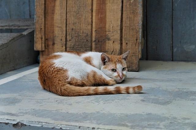 Katzenaids - FIV - bei Katzen