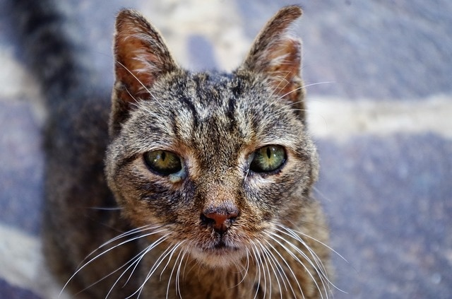 Schilddrüsenüberfunktion Katzen