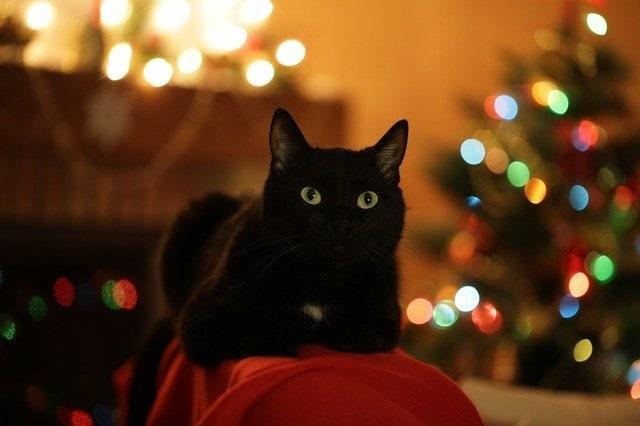 Katze auf Silvester vorbereiten